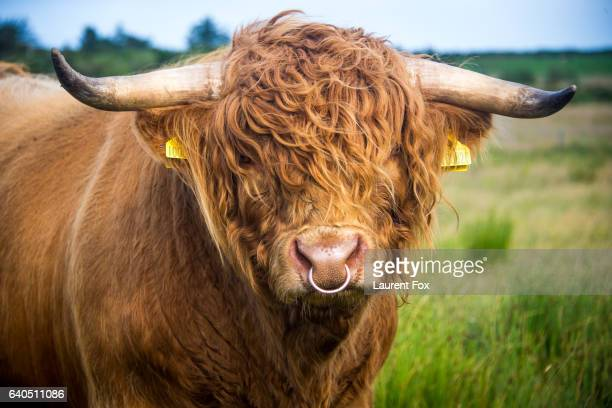 A woolly Highland cow on a farm in Scotland stares directly at the camera.