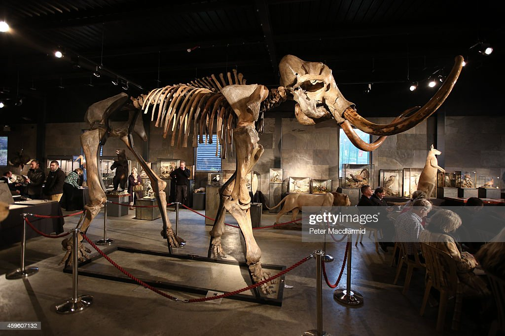 Auction Of A Complete Woolly Mammoth Skeleton : News Photo