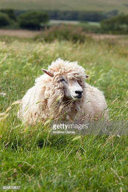 woolly sheep - andrew dernie stock pictures, royalty-free photos & images