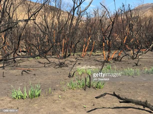 Woolsey fire brings about new growth five weeks after the fire in Corral Canyon Park along the Pacific Coast Highway in Malibu California on December...