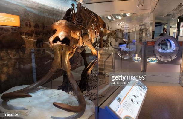Wooly mammoth skeleton is seen in the National Fossil Hall, featuring around 700 fossil specimens that track the history of life on the planet from...