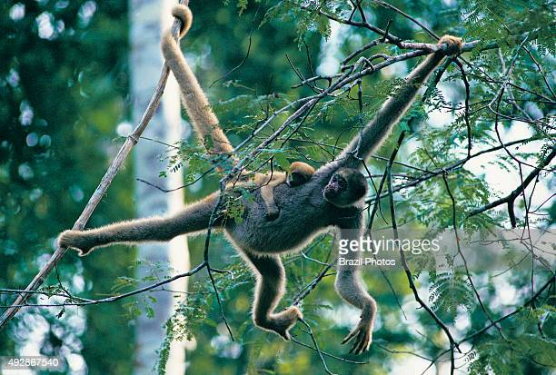Wooly spider monkey Muriqui or monocarvoeiro the acrobat of the Brazilian forests the largest primate of the Americas an endangered species Atlantic...