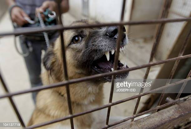 A worder holds back a raging dog in his cage at Beirut for the Ethical Treatment of Animals 'BETA' charitable organisation K9 shelter in the village...