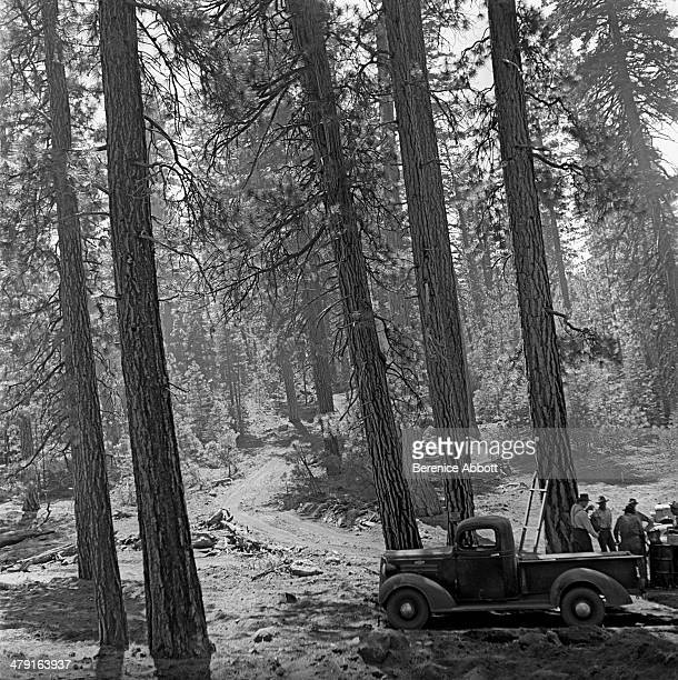 Work Crew Inspects Stand of Ponderosa Pines United States circa 1950 Abbott took two series of logging photographs the first in the High Sierra...