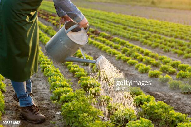 work on the vegetable garden - watering stock pictures, royalty-free photos & images