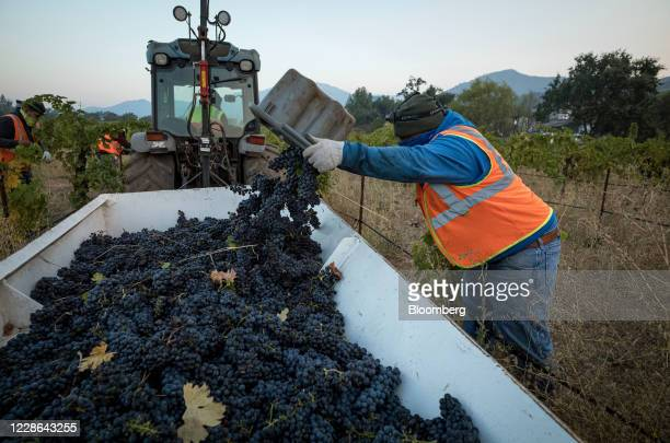 A worker adds zinfandel grapes to bin at a vineyard in Kenwood California US on Monday Sept 21 2020 Smoke from the LNU Lightning Complex wildfires...