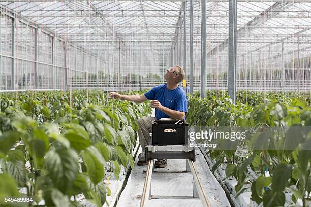 A worker adjusts a strand of staking twine as paprika plants grow inside a greenhouse operated by Seminis and De Ruite the vegetable seeds divisions...
