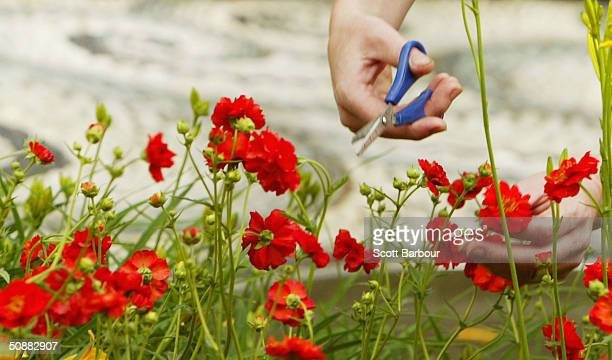 Worker arranges a display during preparation for the annual Chelsea Flower Show on May 21, 2004 in London, England. The show which is due to open to...