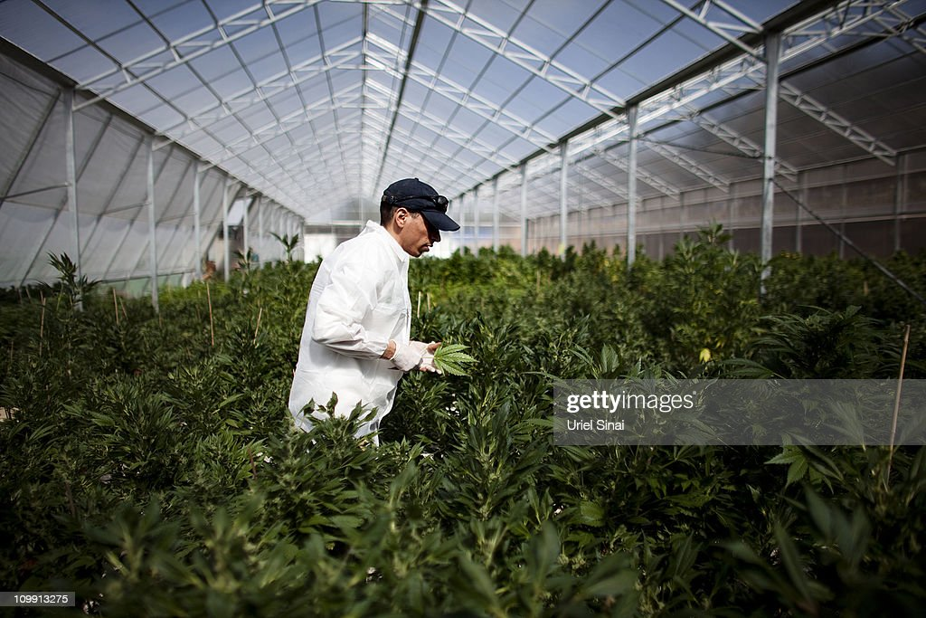 A worker at a cannabis greenhouse at the growing facility of the Tikun Olam company on March 7, 2011 near the northern city of Safed, Israel. In conjunction with Israel's Health Ministry, Tikon Olam are currently distributing cannabis for medicinal purposes to over 1800 people in Israel.