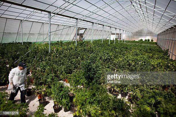 A worker at a cannabis greenhouse at the growing facility of the Tikun Olam company on March 7 2011 near the northern city of Safed Israel In...