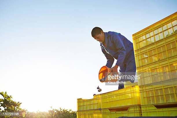 Worker at fruit farm pouring figs into boxes