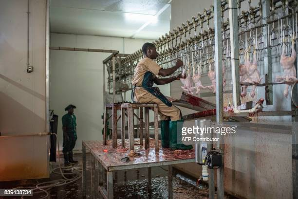 A worker at he Valentine Chicken Abattoir removes the feet off slaughtered chickens on July 11 2017 Farming in Nigeria is not for the fainthearted...