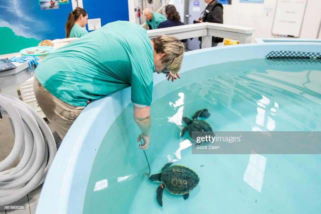 The turtles at the hospital in Quincy could die if returned to the cold seas off of Massachusetts. They were rescued from beaches far from their home waters, after being swept out of the Gulf of Mexico and ferried north along the Atlantic Ocean's Gulf Stream.