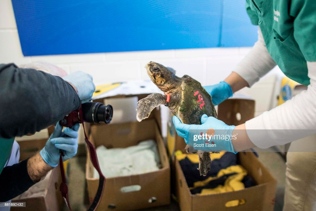 Researchers at the New England Aquarium, along with volunteers, rescued more than 180 hypothermic turtles from Cape Cod Bay over the span of several weeks in November 2017, and have been taking in the rescued turtles in an effort to rewarm them before airlifting them to more suitable locations -- and further rehab -- in other parts of the United States.