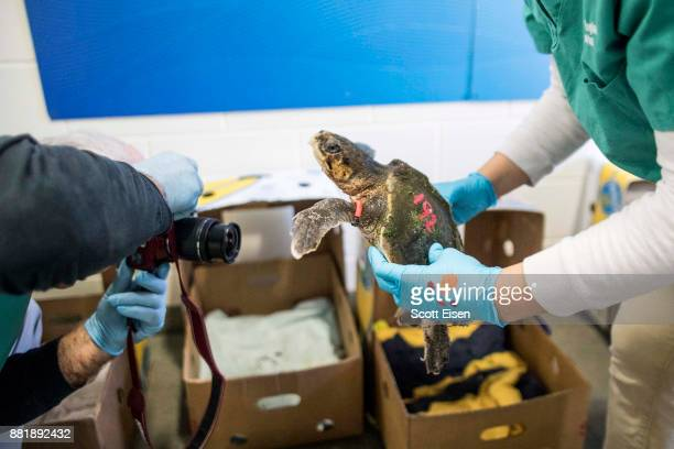 A worker at New England Aquarium's Sea Turtle Hospital photographs a Kemp's Ridley sea turtle that was rescued from a beach in Cape Cod Bay earlier...