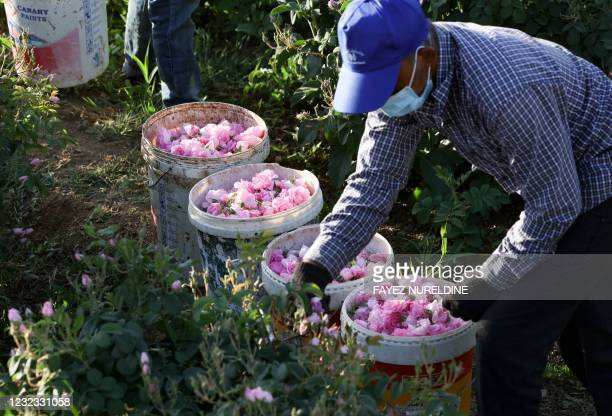 Worker at the Bin Salman farm picks Damascena roses to produce rose water and oil, in the western Saudi city of Taif, on April 11, 2021. - Every...