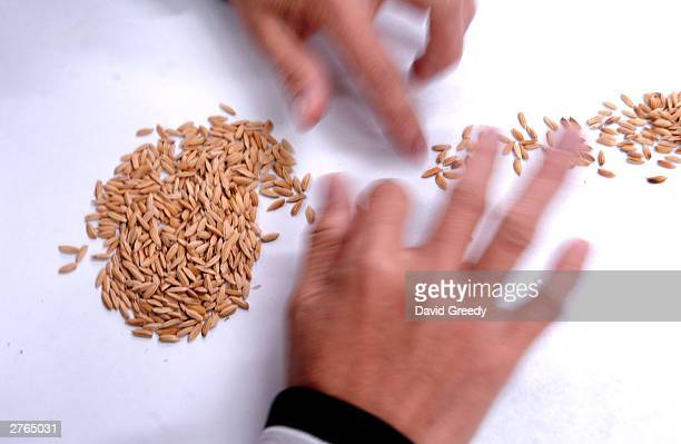 A worker at the International Rice Research Institute sorts good grains for storage and planting November 27 2003 at IRRC's headquarters in Los Banos...