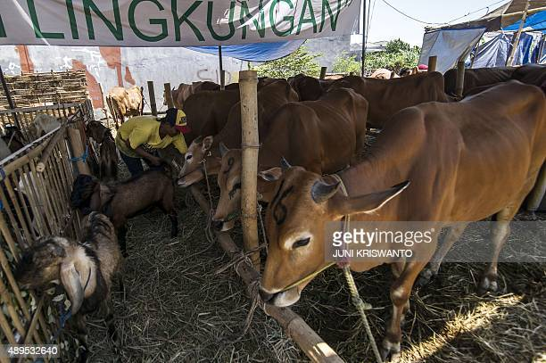 A worker attends to cows displayed for sale at a livestock market ahead of the sacrificial Eid alAdha festival in Surabaya located in eastern Java...