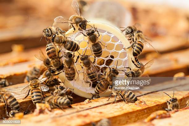 Worker bees caring for queen after marking