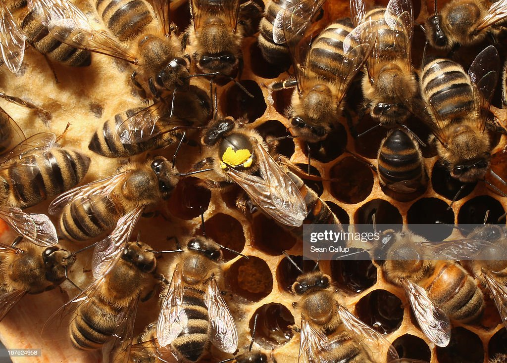 Worker bees surround a queen, who is marked with a yellow spot on her back, in the colony of beekeper Reiner Gabriel in the garden of his home near Berlin on April 25, 2013 in Blankenfelde, Germany. Local beekeepers claim their yearly loss rates within their bee populations has gone from an average of 10% per year to 30% per year over the last 10 years, though they are unsure whether the cause lies with a mite and a virus it might be spreading or with the increased use of certain pesticides by local farmers. According to a recent report prepared by Greenpeace seven pesticides currently in use in Europe present a real danger to bees. Bees are essential in nature in pollenating a wide variety of plants and trees.