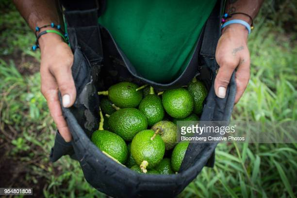A worker carries a bag of avocados at a farm in Colombia