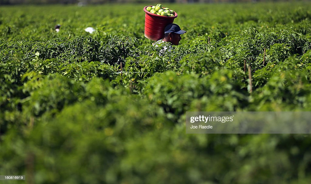 A worker carries a bucket of tomatoes as he harvests them in the fields of DiMare Farms on February 6, 2013 in Florida City, Florida. The United States government and Mexico reached a tentative agreement that would go into effect around March 4th, on cross-border trade in tomatoes, providing help for the Florida growers who said the Mexican tomato growers were dumping their product on the U.S. markets.