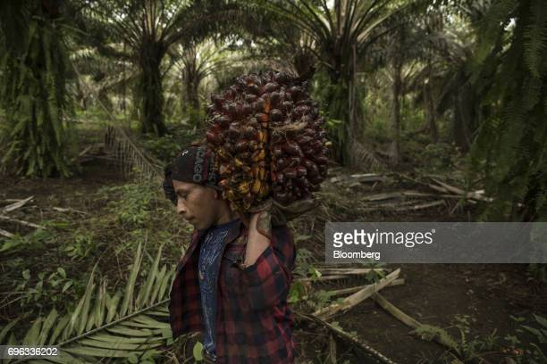 A worker carries a bunch of African oil palm fruit at the Empresa Reforestada de Palma de Peten SA plantation in Sayaxche El Peten department...