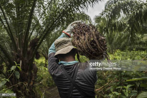 A worker carries a bunch of African oil palm fruit