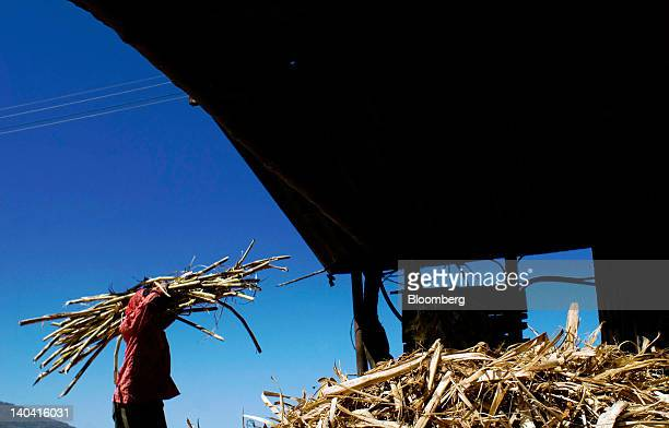 A worker carries a bundle of cut sugar cane for making handmade panela a solid piece of unrefined whole cane sugar obtained from the boiling and...