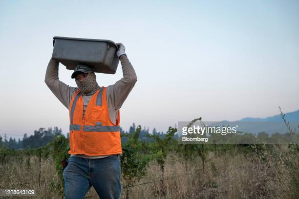 A worker carries a container of zinfandel grapes at a vineyard in Kenwood California US on Monday Sept 21 2020 Smoke from the LNU Lightning Complex...