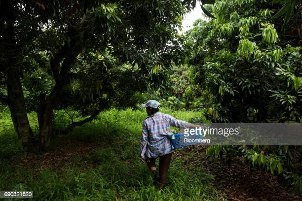 A worker carries a crate of handpicked lychees through an orchard in the Chai Prakan district of Chiang Mai province Thailand on Saturday May 27 2017...