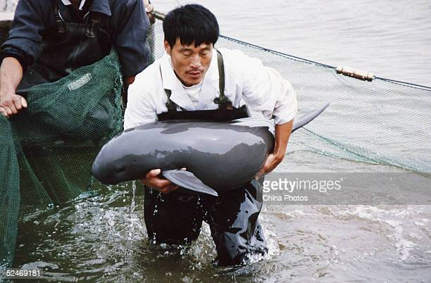 A worker carries a Finless Porpoise to shore to inspect it at the Tongling Freshwater Dolphin Nature Reserve March 21 2005 in Tongling of Anhui...