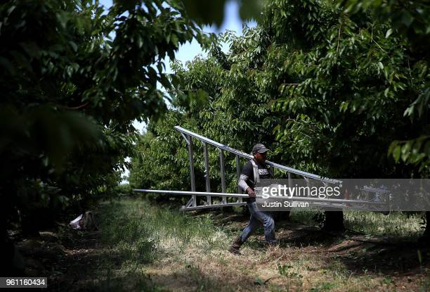 A worker carries a ladder as he picks cherries on May 21 2018 in Acampo California Adverse weather conditions over several months leading up to...