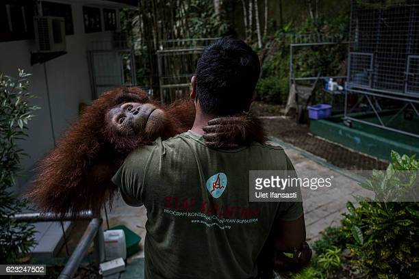Worker carries a Sumatran orangutan as being prepared to be released into the wild at Sumatran Orangutan Conservation Programme's rehabilitation...