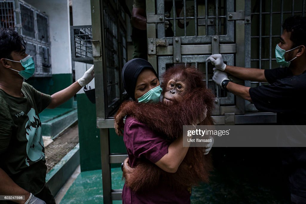 Indonesia's Orangutans Battle With Deforestation : News Photo