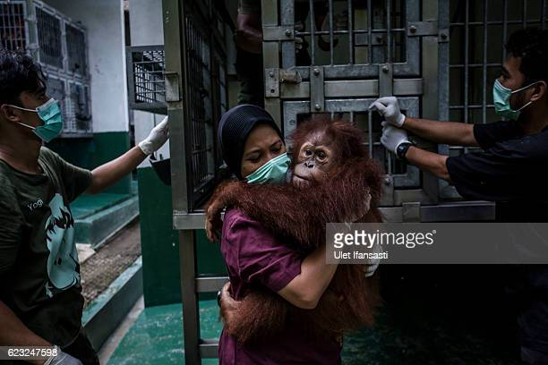 A worker carries a Sumatran orangutan as being prepared to be released into the wild at Sumatran Orangutan Conservation Programme's rehabilitation...