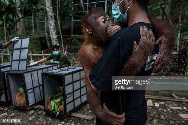 A worker carries a Sumatran orangutan to put into a cage as being prepared to be released into the wild at Sumatran Orangutan Conservation...