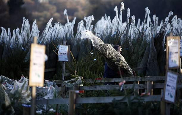 A worker carries a tree to be sold at Christmas Tree Farm in Chesham on  December - A Worker Carries A Tree To Be Sold At Christmas Tree Farm In Chesham