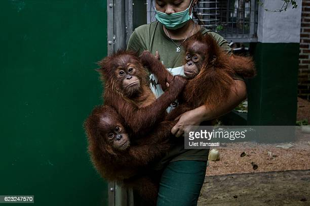 A worker carries baby sumatran orangutans at Sumatran Orangutan Conservation Programme's rehabilitation center on November 10 2016 in Kuta Mbelin...