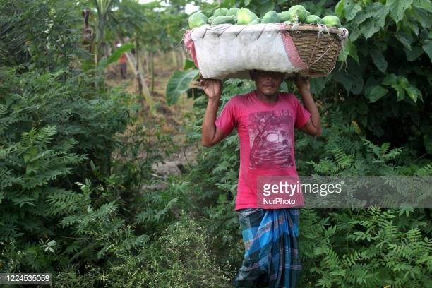 Worker carries fruits in a papaya plant in Magura, Bangladesh on July 02, 2020.