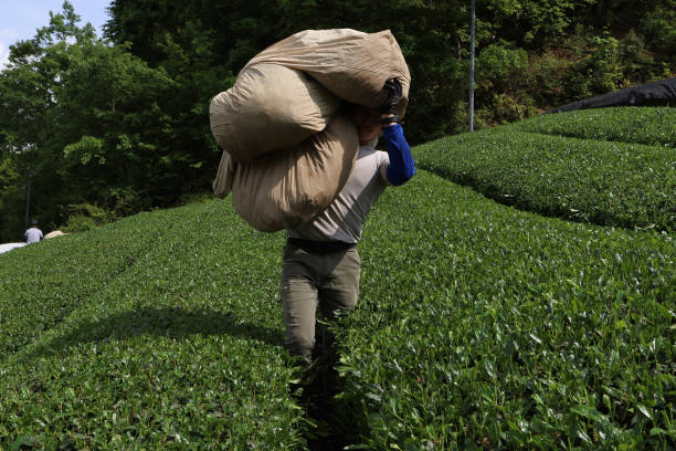 JPN: Green Tea Harvest and Production Ahead of GDP Announcement