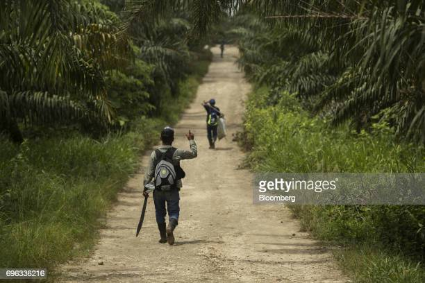 Worker carry equipment to harvest African oil palm fruit at the Empresa Reforestada de Palma de Peten SA plantation in Sayaxche El Peten department...