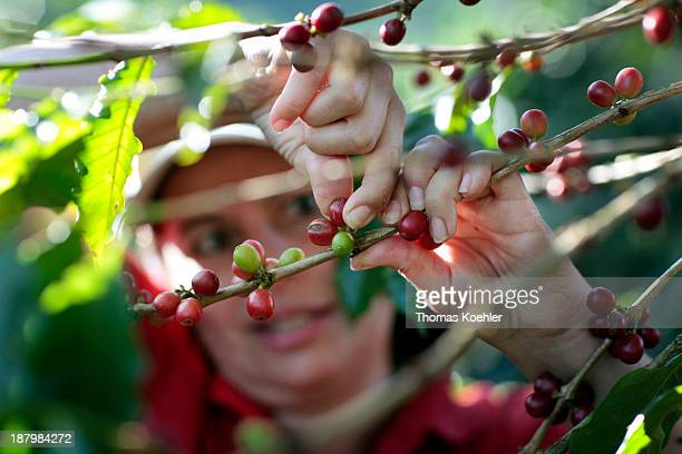 Worker checking the quality of the coffee beans from the coffee plantation Espiritu Santo the plantation is member of the coffee cooperative...