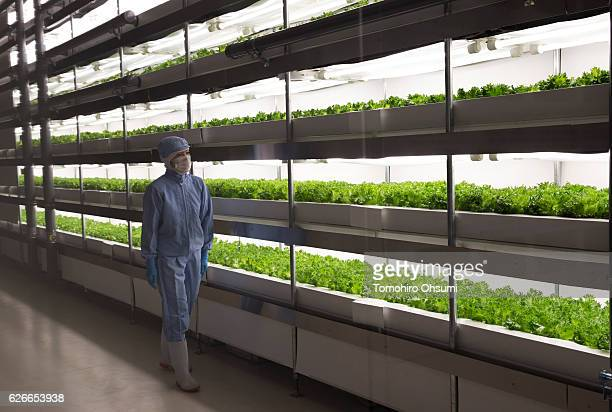 A worker checks a lettuce cultivated under LED lights inside the clean room at Panasonic Corp's plant factory on November 30 2016 in Fukushima Japan...