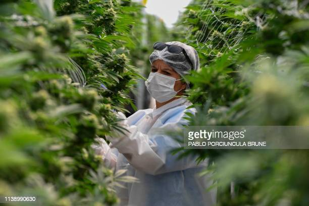 A worker checks marijuana plants in a greenhouse at the Fotmer Life Sciences company in Nueva Helvecia 120 Km west of Montevideo Uruguay on April 17...