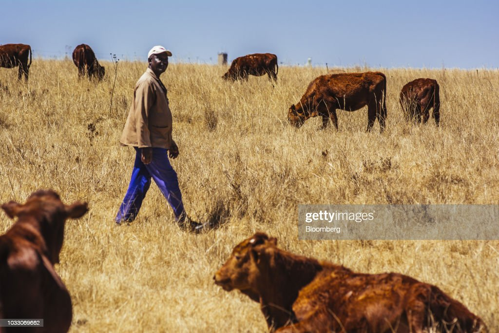 A worker checks on cattle grazing on the Ehlerskroon farm, outside Delmas in the Mpumalanga province, South Africa on Thursday, Sept. 13, 2018. A legal battle may be looming over plans by South Africas ruling party to change the constitution to make it easier to expropriate land without paying for it, with widely divergent views over the process that needs to be followed. Photographer: Waldo Swiegers/Bloomberg via Getty Images