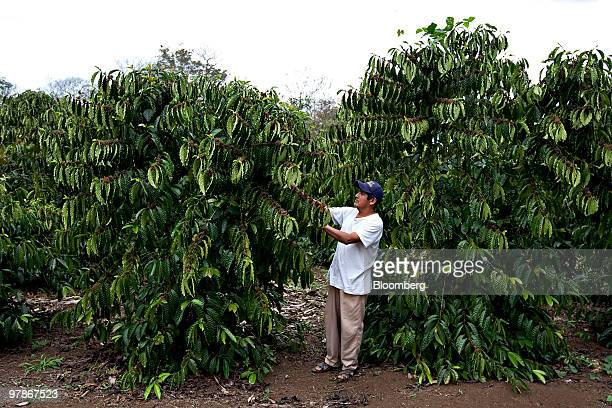 A worker checks on coffee trees on a plantation in Fortin Veracruz Mexico on Thursday March 4 2010 Mexican coffee growers will produce less than last...