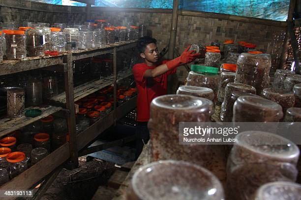 A worker checks the jars containing the ants in a room whose humidity was adjusted to suit the ants in the colony on April 5 2014 in Bogor Indonesia...