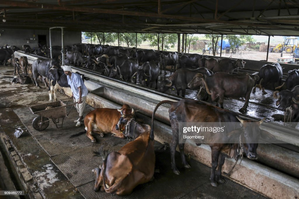 A Worker Cleans Up Cow Dug In Cattle Shed At Dairy Farm The