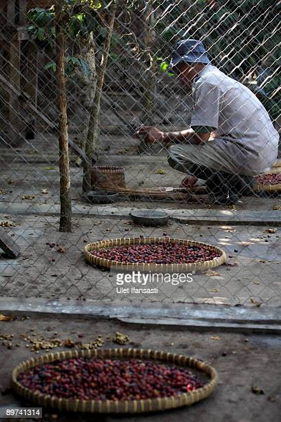 A worker clears the results of civet dung during the production of Civet coffee the world's most expensive coffee in Bondowoso on August 11 2009 in...